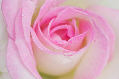 Closeup Pink Rose Original