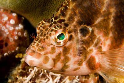 Malapascua Island Photograph - Closeup Portrait Of A Hawkfish by Tim Laman
