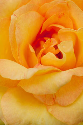 Closeup Yellow Rose Original
