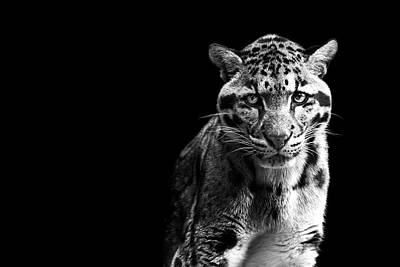 Clouded Leopard Art Print by Malcolm MacGregor