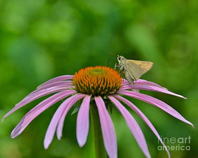 Photograph - Clouded Skipper by Carol  Bradley
