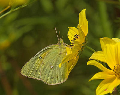 Photograph - Clouded Sulphur Butterfly Din099 by Gerry Gantt