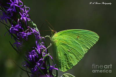Photograph - Cloudless Sulpher Butterlfy by Barbara Bowen