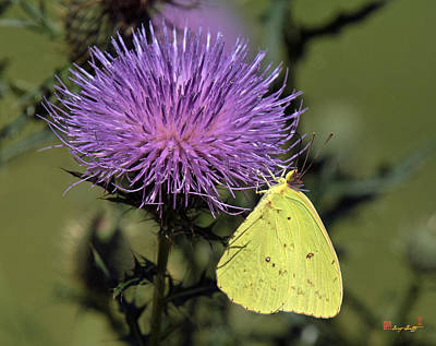 Photograph - Cloudless Sulphur Butterfly Din159 by Gerry Gantt
