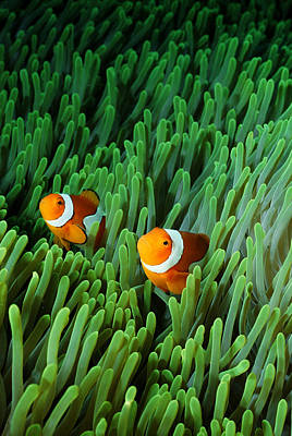 Clown Fish Photograph - Clown Anemonefish (amphiprion Percula) by Stephen Frink