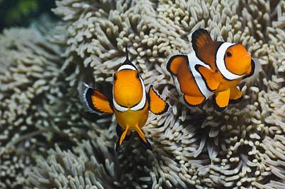 Clown Pair Photograph - Clown Anemonefish by Georgette Douwma