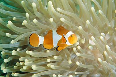 Clown Anemonefish In Sea Anemone Art Print