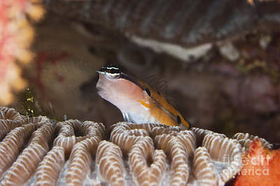 Clown Fish Photograph - Clown Blenny On Some Coral, Papua New by Terry Moore