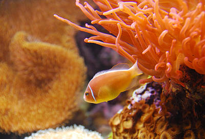 Photograph - Clown Fish by Anthony Citro
