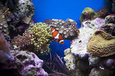 Clown Fish Photograph - Clown Fish by Elaine Mikkelstrup