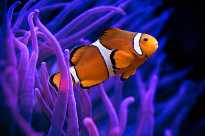 Clown Fish Photograph - Clown Fish by Tolga Cetin
