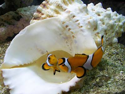 Clown Fish Photograph - Clowning by Kelsey R Marquart