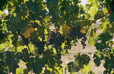 Grape Leaves Photograph - Clusters Of Grapes Hanging From Vines by Michael S. Lewis