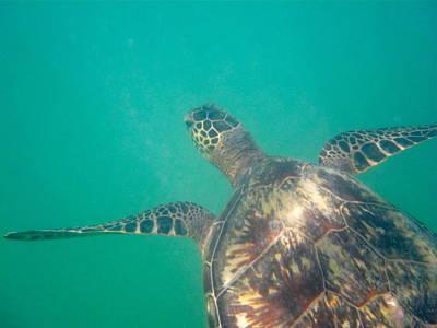 Photograph - Clyde The Hawaiian Sea Turtle by Erika Swartzkopf