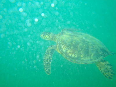 Photograph - Clyde The Turtle Three by Erika Swartzkopf