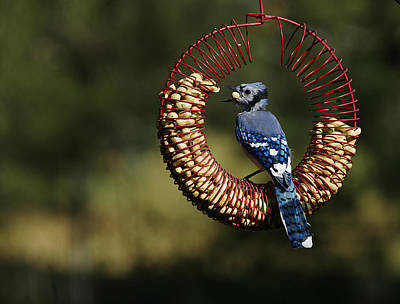 Photograph - Co-8-12-home-bluejay1 by Diana Douglass