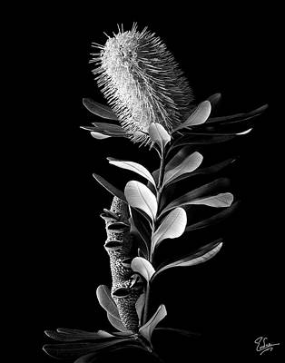 Australian Flowers Photograph - Coast Banksia In Black And White by Endre Balogh