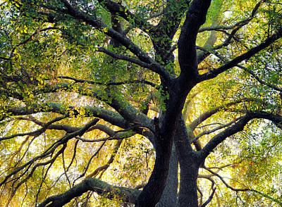 Photograph - Coast Live Oak by Alexander Kunz