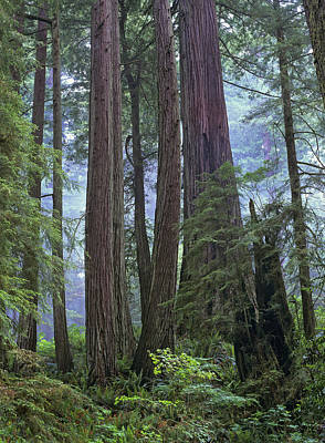 Photograph - Coast Redwood Opld Growth Stand Del by Tim Fitzharris