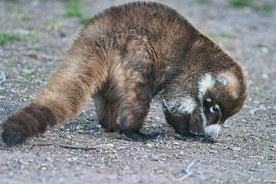 Photograph - Coatimundi by Gregory Scott