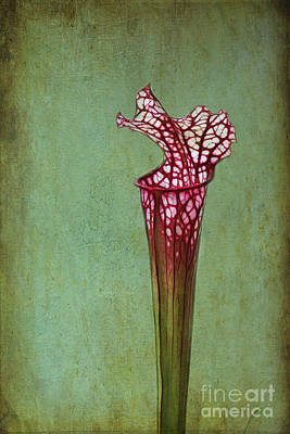 Photograph - Cobra Lily by Judi Bagwell