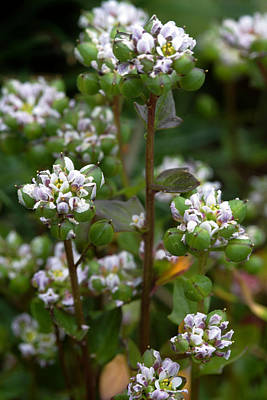 Cochlearia Officinalis Art Print