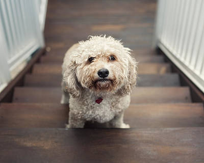 Cockapoo Dog Art Print by Jody Trappe Photography