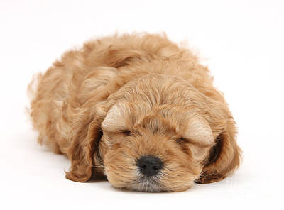 Photograph - Cockapoo Pup by Mark Taylor