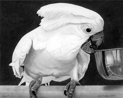 Print featuring the drawing Cockatoo by Ana Tirolese