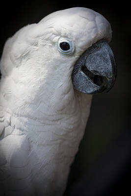 Photograph - Cockatoo by Zoe Ferrie
