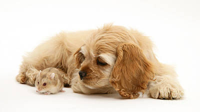 Hamster Baby Photograph - Cocker Spaniel And Hamster by Mark Taylor