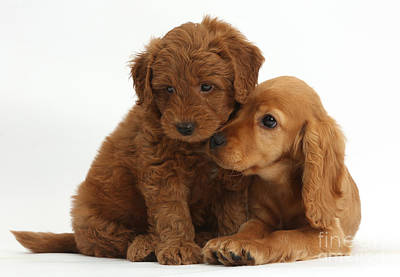 Golden Doodle Photograph - Cocker Spaniel Puppy And Goldendoodle by Mark Taylor