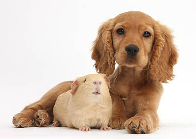 Golden Cockers Photograph - Cocker Spaniel Puppy And Guinea Pig by Mark Taylor