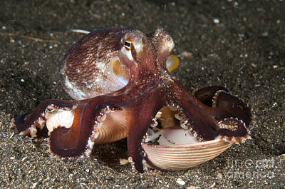 Coconut Octopus Carrying A Clam Shell Art Print