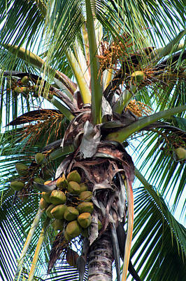 Photograph - Coconut Palm Inflorescence by Karon Melillo DeVega