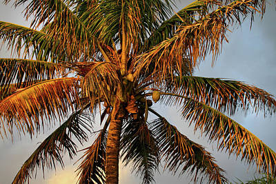 Photograph - Coconut Tree by Pierre Leclerc Photography