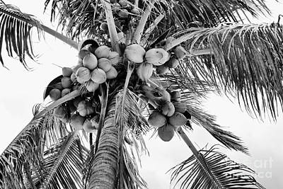 Photograph - Coconuts by Gina Cormier