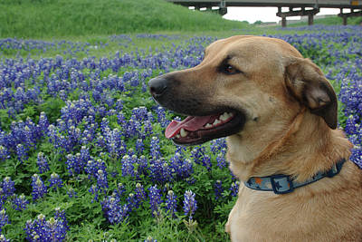 Photograph - Cody In Bluebonnets by Robyn Stacey