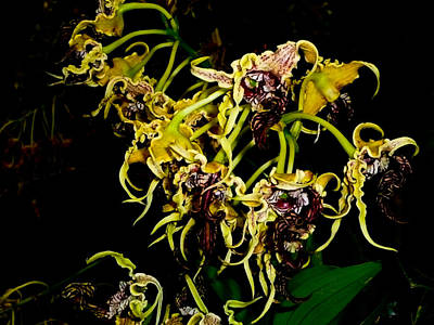 Photograph - Coelogyne Orchids by Chua  ChinLeng