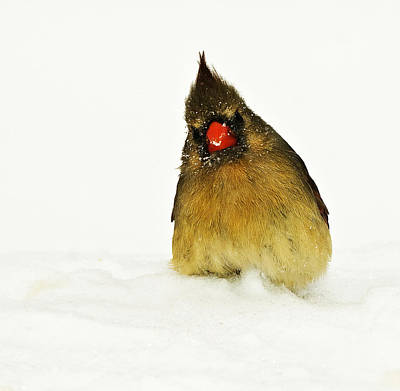 Photograph - Cold Female Cardinal by Trudy Wilkerson