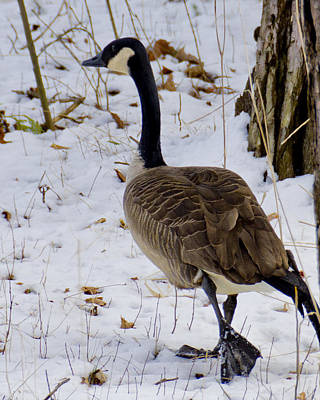 Geese Photograph - Cold Footed Goose On The Loose by LeeAnn McLaneGoetz McLaneGoetzStudioLLCcom