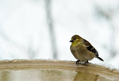 Cold Golden Yellow Finch Print by Douglas Barnett