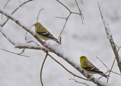 Finch Photograph - Cold Yellow Finch Walk by LeeAnn McLaneGoetz McLaneGoetzStudioLLCcom