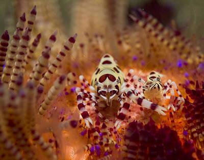 Coleman Shrimp Photograph - Coleman Shirmp Pair by Freund Gloria