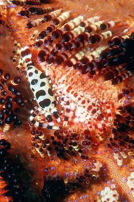 Coleman Shrimp Photograph - Coleman's Shrimp On A Sea Urchin by Georgette Douwma