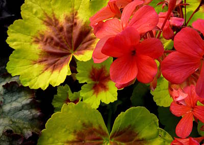 Coleus And Impatiens Blooms Art Print by Cindy Wright