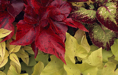 Coleus And Other Plants In A Window Box Art Print by Paul Damien