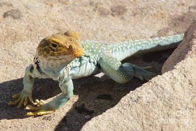 Photograph - Collard Lizard by Adam Jewell