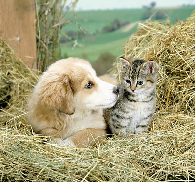 Animal Portraiture Photograph - Collie Puppy With Tabby Kitten by Jane Burton