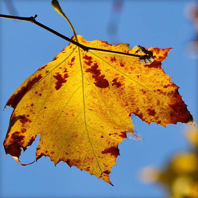 Photograph - color in Sycamore by Rima Biswas
